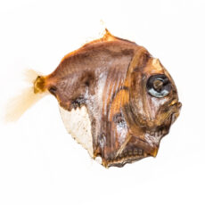 This is a photograph of a museum specimen of a Highlight Hatchetfish.