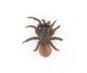 This is a photograph of a museum specimen of a Folding-door Spider.
