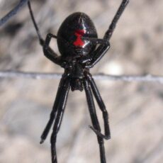 This is a photograph of a Western Black Widow spider showing the distinctive red hourglass shape on the abdomen.