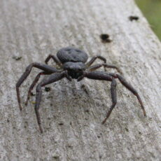This is a photograph of a Coriarachne brunneipes spider, which is a type of crab spider.