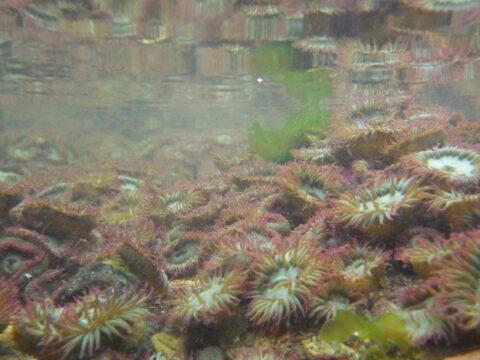 Examine images of British Columbian marine invertebrates.