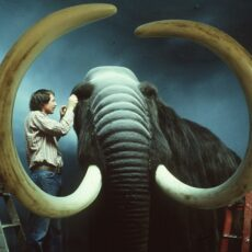 This is a photograph showing a museum taxidermist working on a fabricated Woolly mammoth.
