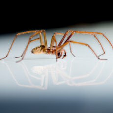 This is a photograph of a Giant House Spider on a reflective surface with its reflection visible.