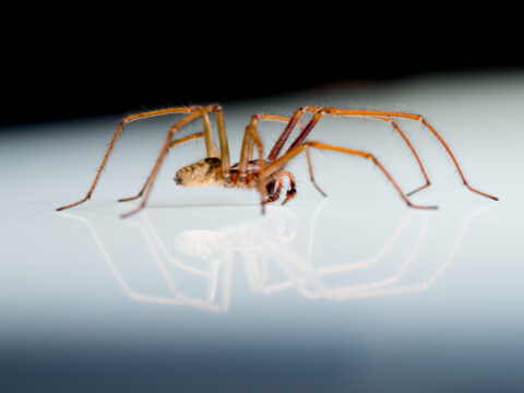 Examine images of British Columbia spiders and specimens from the Royal BC Museum spider collection.