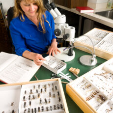 This is a photograph of Entomology Collection Manager Claudia Copley at a desk with microscope, books and insect specimens.