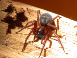 This is a photograph of a Callobius severus spider on a piece of wood.
