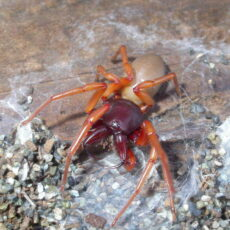 This is a photograph of a Woodlouse Hunter spider on a surface of wood and pebbles.