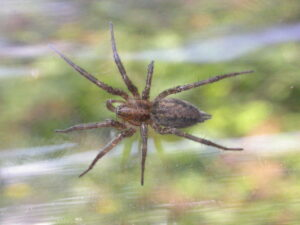This is a photograph of a spider from the Agelenidae family with visible spinnerets.