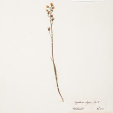 This is an image of a specimen of Mountain Death Camas (Zygadenus elegans) Pursh, collected by Mary Gibson Henry in northeastern BC.
