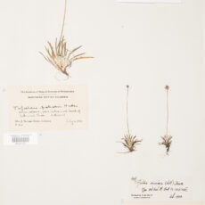 This is an image of a specimen of Common False Asphodel (Tofieldia pusilla) (Michx.) Pers., collected by Mary Gibson Henry in northeastern BC.