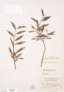 This is an image of a specimen of Northern Bush Willow (Salix arbusculoides) Andersson, collected by Mary Gibson Henry in northeastern BC.