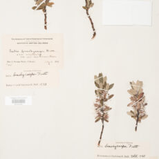 This is an image of a specimen of Short-Fruited Willow (Salix brachycarpa) Nutt., collected by Mary Gibson Henry in northeastern BC.