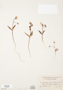 This is an image of a specimen of Western Spring Beauty (Claytonia lanceolata) Pall. ex Pursh, collected by Mary Gibson Henry in northeastern BC.