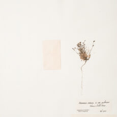 This is an image of a specimen of Boreal Sandwort (Minuartia rubella) (Wahlenb.) Hiern , collected by Mary Gibson Henry in northeastern BC.