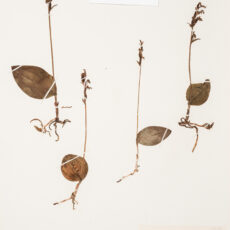 This is an image of a specimen of Round Leaved Orchis (Galearis rotundifolia) (Banks ex Pursh) R.M. Bateman, collected by Mary Gibson Henry in northeastern BC.