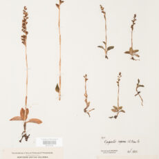 This is an image of a specimen of Dwarf Rattlesnake Orchid (Goodyera repens) (L.) R.Br., collected by Mary Gibson Henry in northeastern BC.