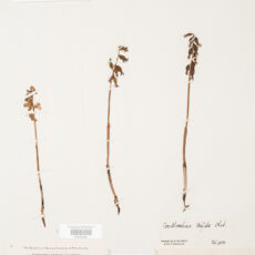 This is an image of a specimen of Yellow Coralroot (Corallorrhiza trifida) Châtel., collected by Mary Gibson Henry in northeastern BC.