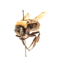 Colour photograph of a pinned Western Bumble Bee in the Royal BC Museum's entomology collection.