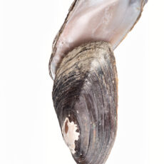 Photograph of the top and bottom view of the shell of a Rocky Mountain Ridged Mussel.