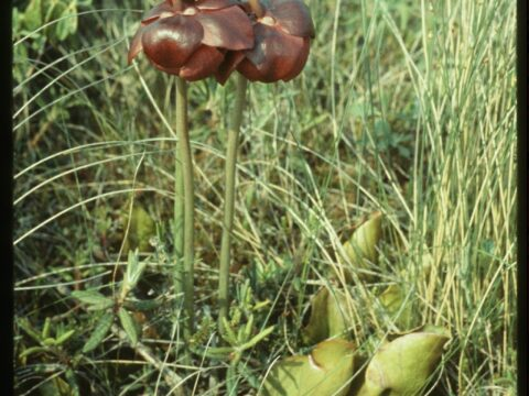 Common Pitcher-plant