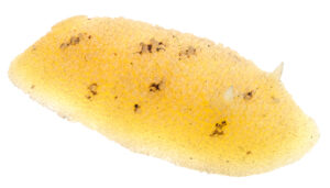 Image of a rubber cast of a sea creature called a Lemon Nudibranch.
