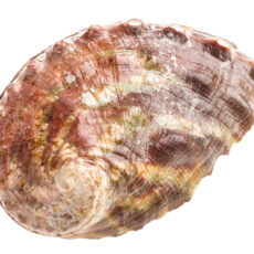 Image of the shell of an animal that lives in the ocean.