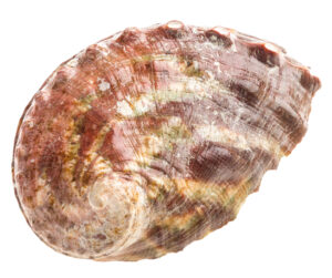 Image of the shell of the marine invertebrate the Northern Abalone
