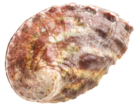 Northern Abalone