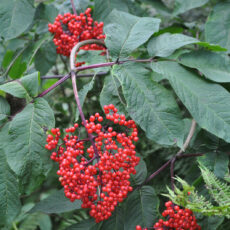 Live Elderberry plant with bunch of bright red berries surrounded by green leaves.