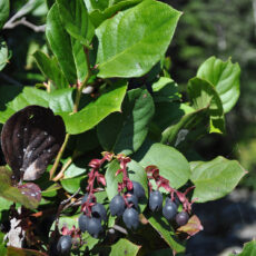 Salal with fruits growing in the wild.