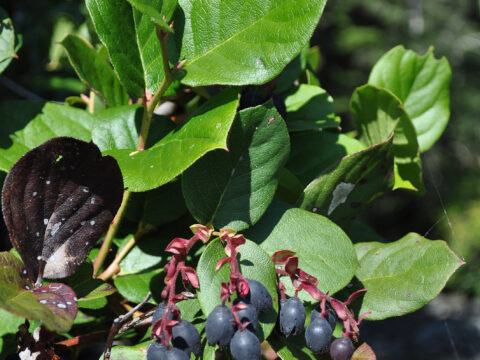 Salal with Fruits