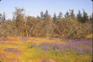 A Garry Oak meadow with camas growing nearby.