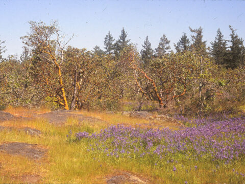 Garry Oak meadow with camas.