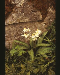 A live Fawn Lily with ferns.