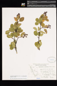 An image of pressed Saskatoon Berry in the Royal BC Museum botany collection.