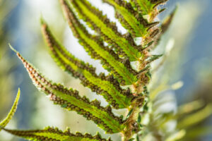 Image of the underside of a Sword Fern showing the sori.