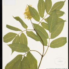 Pressed Elderberry in the Royal BC Museum botany collection.
