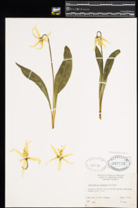 Image of a pressed Fawn Lily in the Royal BC Museum entomology collection.