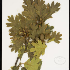 A Garry Oak specimen in the Royal BC Museum botany collection.