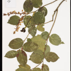 Pressed Salal in the botany collection at the Royal BC Museum.