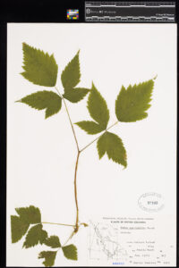 Pressed Salmonberry in the Royal BC Museum botany collection.