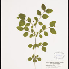 A pressed Snowberry in the Royal BC Museum botany collection.