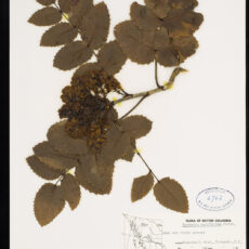 A pressed Tall Oregon Grape in the Botany collection at the Royal BC Museum.