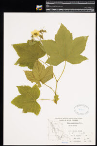A pressed Thimbleberry in the Royal BC Museum botany collection.