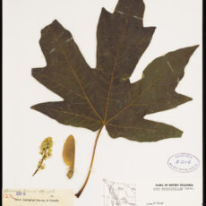 A pressed Bigleaf Maple leaf, seed and flower in the botany collection at the Royal BC Museum.