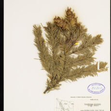 A pressed Douglas Fir specimen in the Royal BC Museum botany collection.