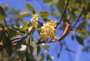 Leaves and flowers on the tip of a live Arbutus branch.