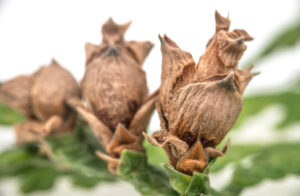 Image of live Western Red Cedar cones still on the tree.