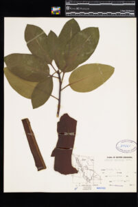 An Arbutus specimen in the Royal BC Museum botany collection.