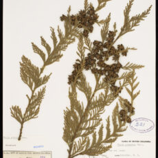 Pressed specimen of the leaves and cones of a Western Red Cedar in the Royal BC Museum botany collection